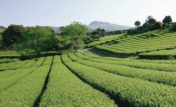 Korea Teeplantage