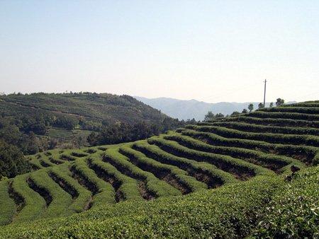Pai Mu Tan Plantage