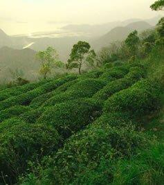 Peach Flower Island Teeplantage