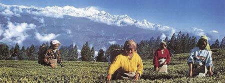 Nepal Tee Ernte