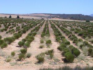 Rooibush Plantage