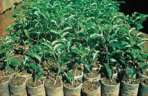Junge Teepflanzen