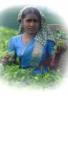 Teeblätter-Versand Sri Lanka Tee