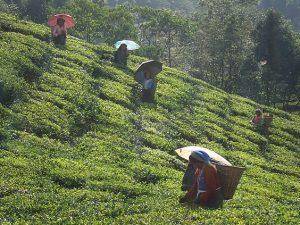 Teeernte auf der Plantage Okayti