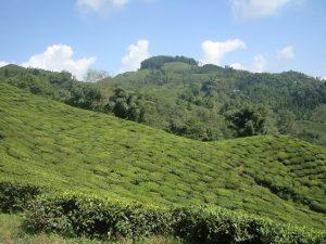 Blick auf die Teehänge der Plantage Okayti