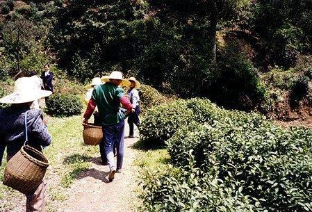 Teeanbaugebiet in der Provinz Zhejiang