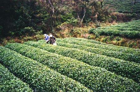 Grüntee Ernte im Süden Chinas